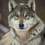 shoutout from wolvescommunity influencer on Instagram